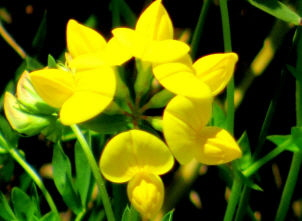 Birds-foot Trefoil - 300x225