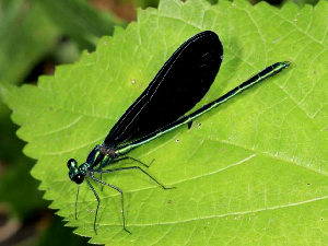Ebony Jewelwing Damsel Fly - 300 x 225