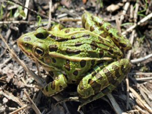 Leopard Frog - 300 x 225