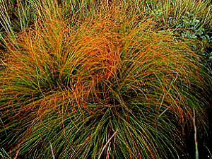 Prairie Dropseed - 300 x 225