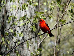Scarlet Tanager - 300 x 225