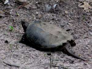Snapping Turtle -300x225