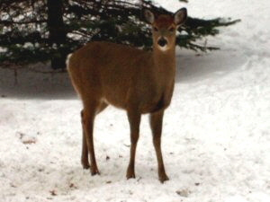 White-tailed Deer - 300 x 225