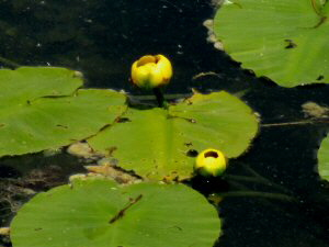 Yellow Pond Lily - 2 - 300 x 225
